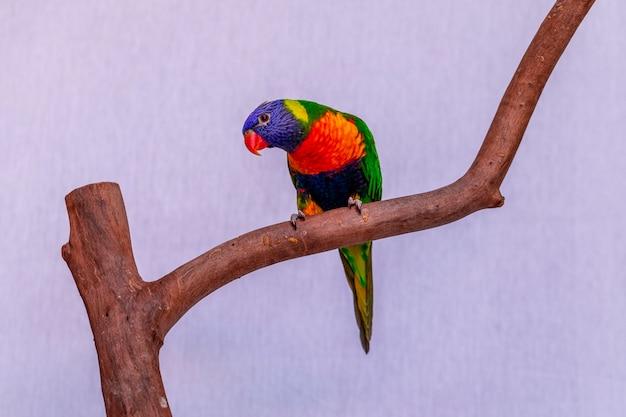 Papuga trichoglossus moluccanus na drewnianym okonie.