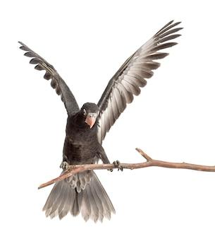 Papuga wazowa większa, coracopsis vasa, w wieku 7 tygodni, przysiadła na gałęzi z rozpostartymi skrzydłami na tle białej przestrzeni