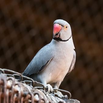 Papuga z szyjką indyjską