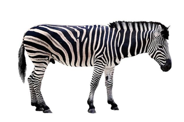 Papuga zebra