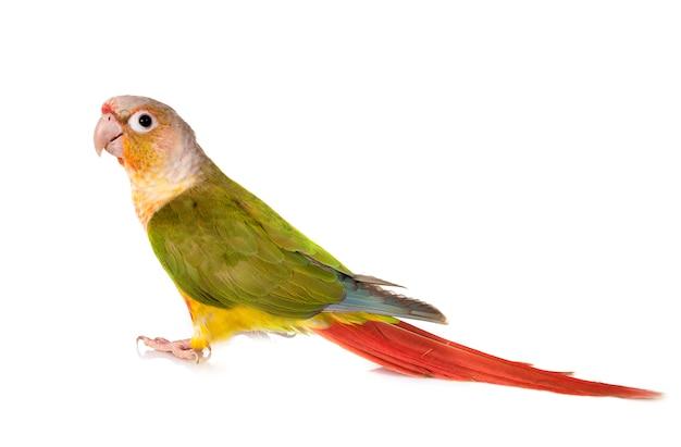 Papuga zielona w policzkach