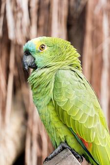 Papuga, zielono-żółta, pochodząca z brazylii, w bioparku.
