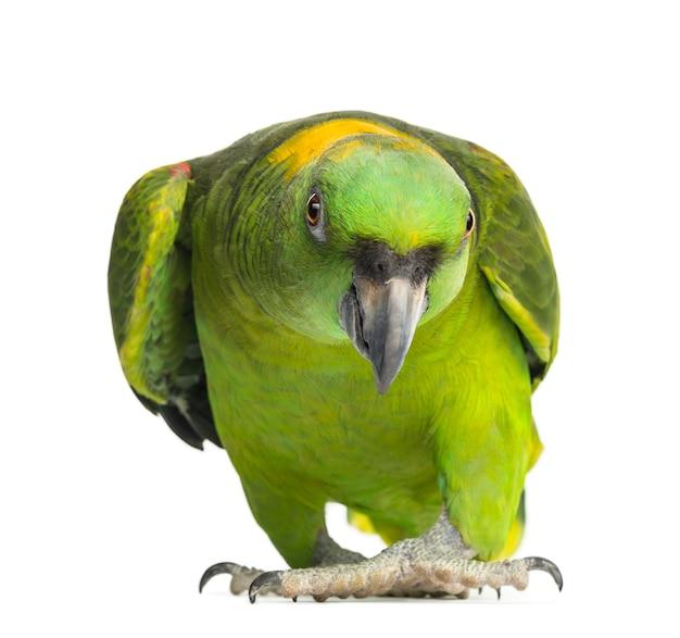 Papuga żółtobrunatna (6 lat), na białym tle