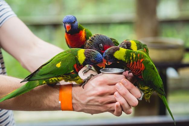 Papugi jedzące nasiona z ludzkiej dłoni.