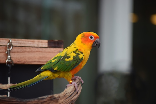 Papugi są pięknymi ptakami i są zwierzętami domowymi.