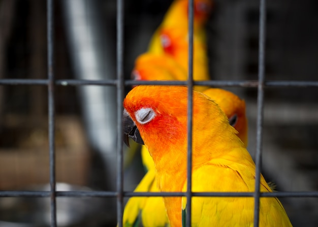 Papugi sun conure