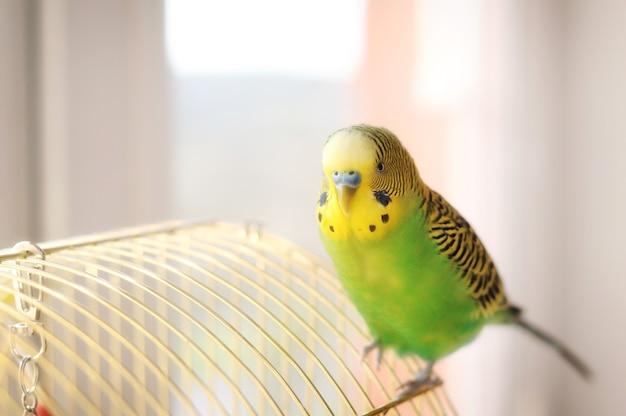 Papużka falista na klatce dla ptaków zabawny zielony budgie