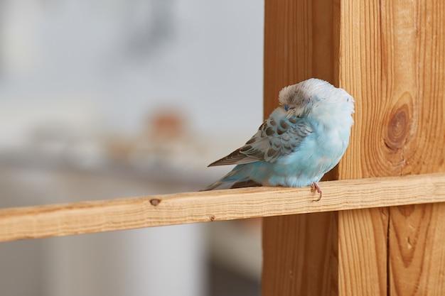 Papużka falista śpi z dziobem w plecy