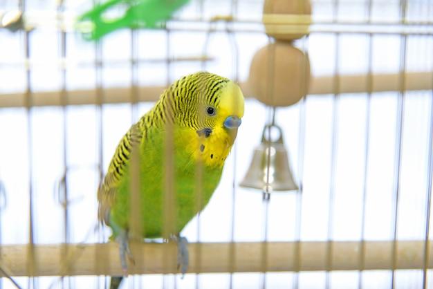 Papużka falista w klatce dla ptaków. smutna budgie