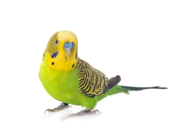 Papużka falista w studio