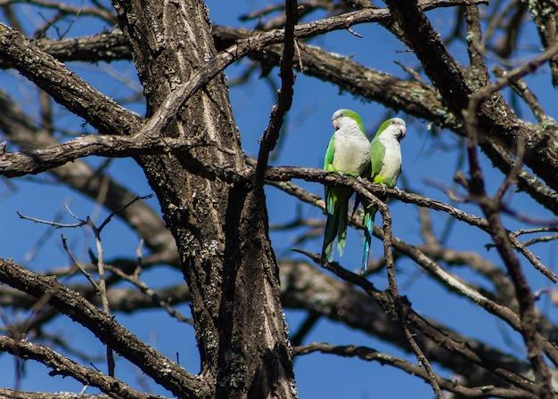 Para argentyńskich papug siedzących na gałęziach drzew w ich naturalnym środowisku