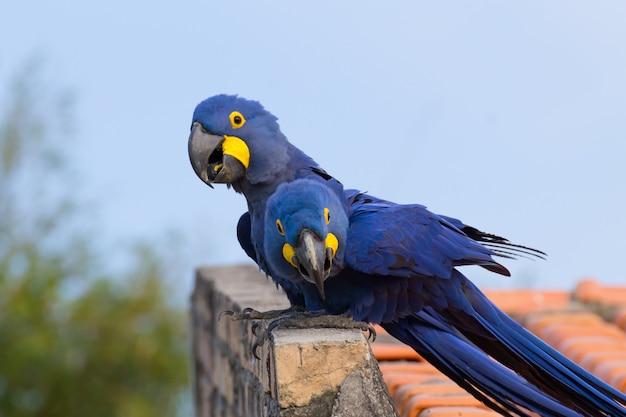 Para ary hiacyntowej z pantanal w brazylii. brazylijska przyroda. największa papuga na świecie. anodorhynchus hyacinthinus