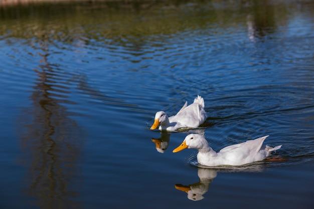 Para białe kaczki w jeziorze