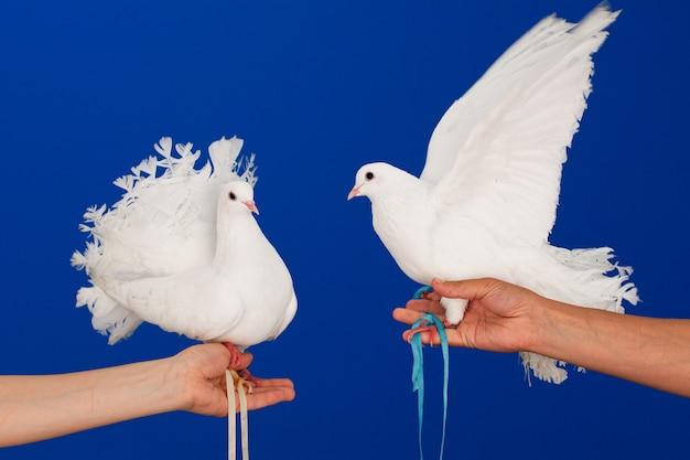 Para białych gołębi siedzących na rękach.
