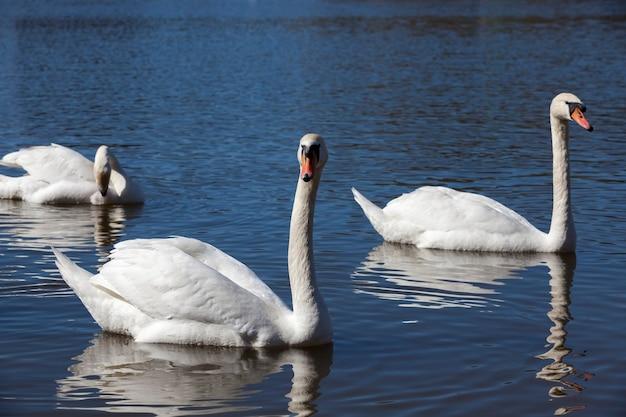 Para białych łabędzi unosząca się na wodzie, sezon wiosenny dla ptaków, dzika przyroda z ptactwem wodnym podczas tworzenia małżeństwa