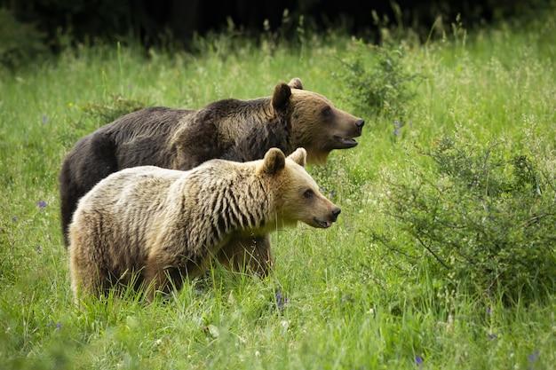 Para brown niedźwiedź w koperczaki na łące w zielonej lato naturze.