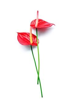 Para ciemnoczerwonych kwiatów anthurium flamingo na białym tle