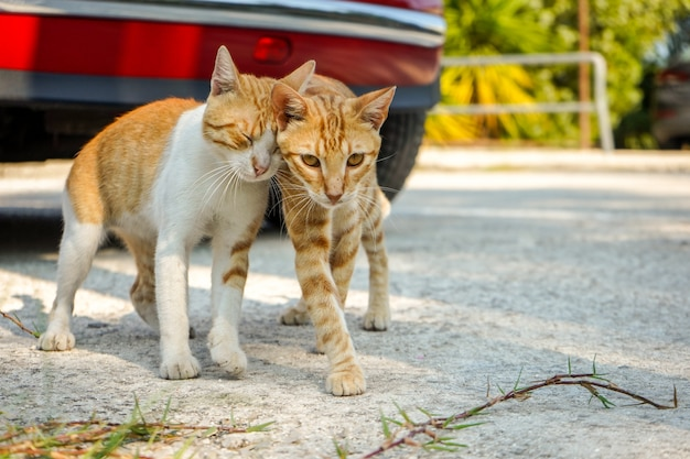 Para czerwonych kotów greckich przytulających się w słoneczny, ciepły dzień