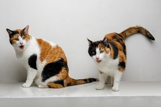 Para domowych kotów calicos o śmiesznych twarzach