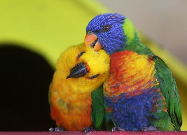 Para dwóch kolorowych papug