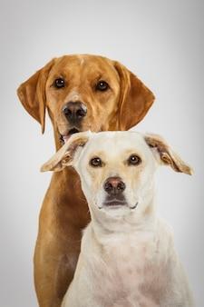Para dwóch wyrazistych psów pozujących w studio na białym tle