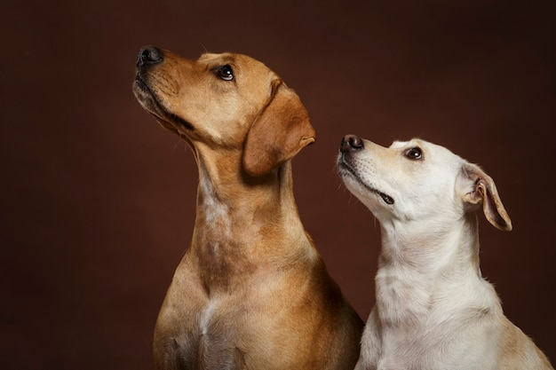 Para dwóch wyrazistych psów pozuje w studio na brązowym tle