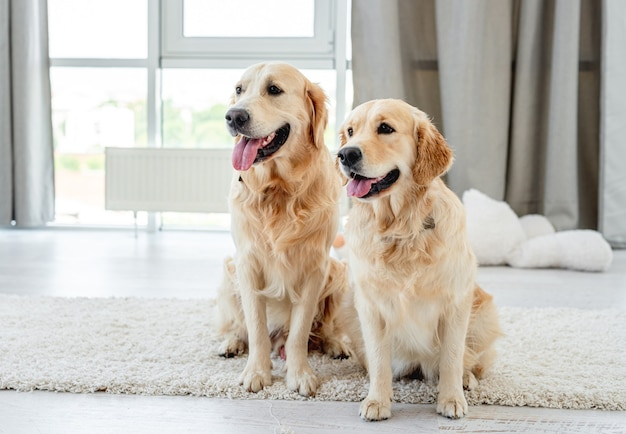 Para golden retriever siedzi na podłodze w domu