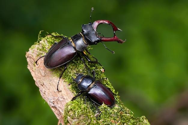 Para jelonkowate stojąc na omszałej gałęzi w letniej naturze