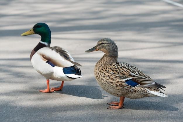 Para kaczek krzyżówek przez zbliżenie drogi