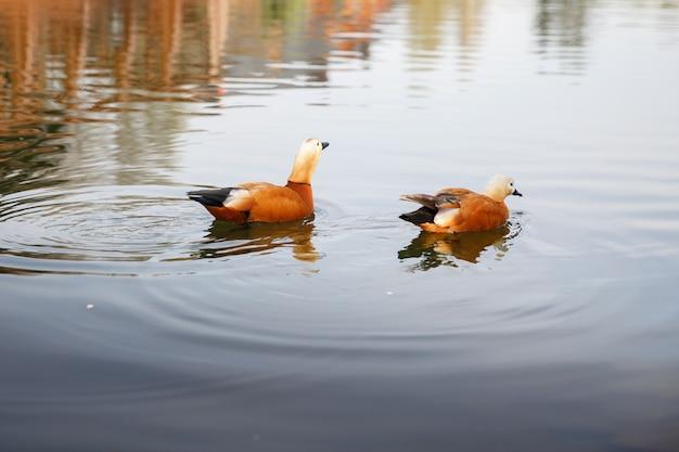 Para kaczek pływa w jeziorze, drzewa odbijają się w wodzie