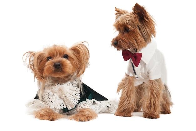 Para kochających się małych yorkshire terierów w kostiumach