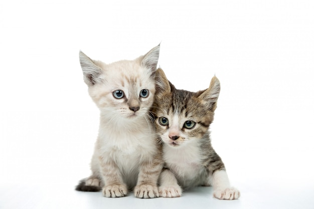 Para kotek na białym tle