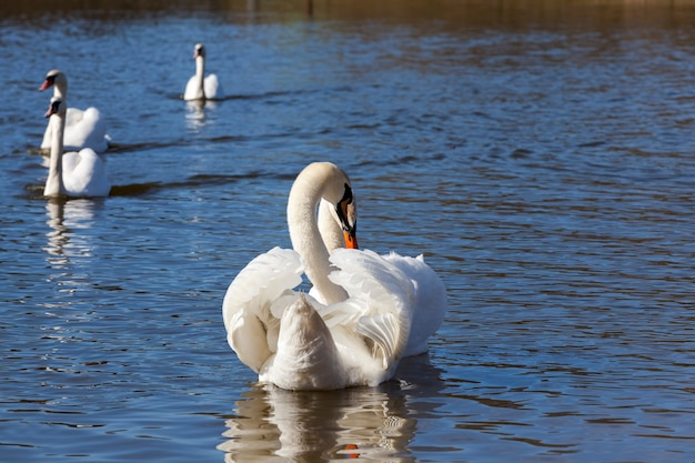 Para łabędź wiosną, piękne ptactwo wodne dwa ptaki łabędź na jeziorze wiosną, jeziorze lub rzece z łabędziami