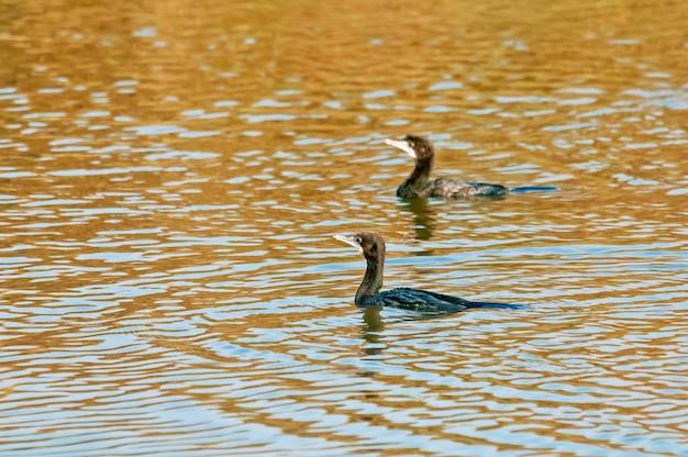 Para małego kormorana pływającego w wodzie
