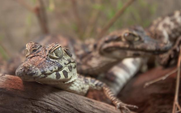 Para młodych aligatorów r. nad drewnianym pniu