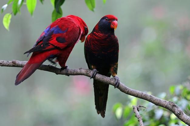 Para papug na gałązce