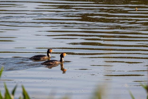 Para perkozów dwuczubych (podiceps cristatus) pływających przez zbiornik weir wood