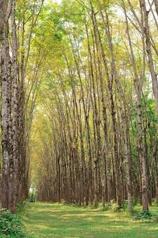 Para plantacji drzew kauczukowych
