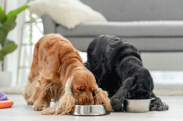 Para psów cocker spaniel angielski jedzenie z misek w jasnym pokoju w domu
