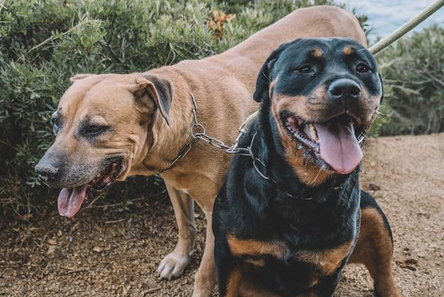 Para psów myśliwskich w słoneczny dzień