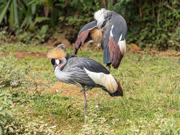 Para żurawia czarno-koronowanego - balearica pavonina