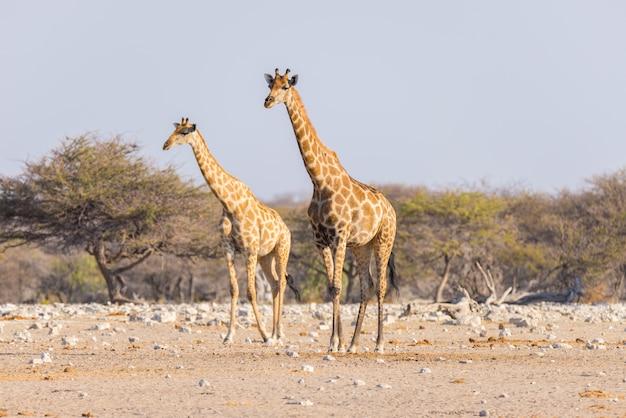 Para żyrafy odprowadzenie w krzaku na pustynnej niecce, światło dzienne. wildlife safari w parku narodowym etosha