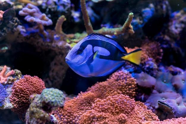 Paracanthurus hepatus, blue tang w akwarium z domową rafą koralową.