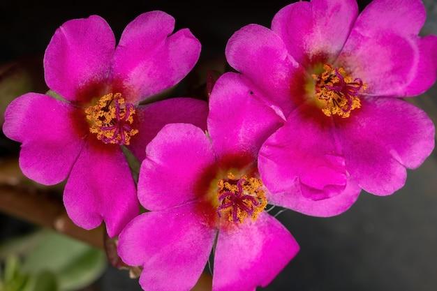 Paragwajski kwiat portulaka z gatunku portulaca amilis