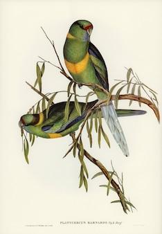 Parakeet (platycercus barnardii) zilustrowany przez elizabeth gould