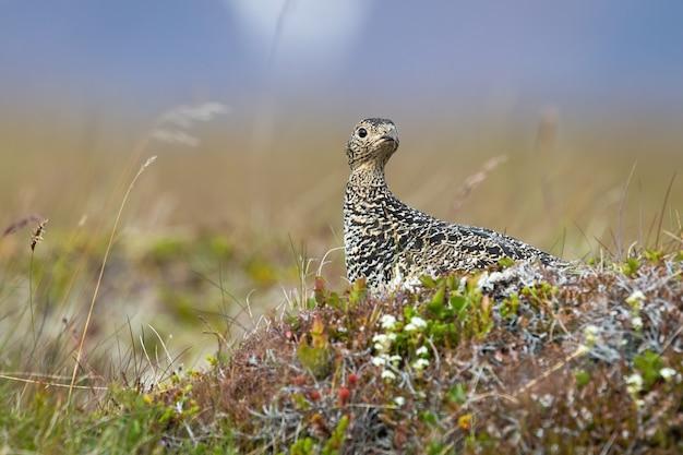 Pardwa skalna, lagopus muta, samica siedząca na kamieniu latem. wzorzyste szary ptak obserwujący na trawie w islandii. dzikie ptactwo łaciate patrząc na łące.
