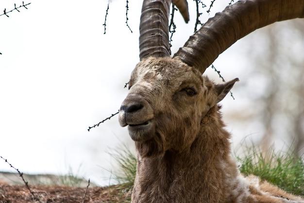 Park gran paradiso, włochy. capra ibex w maju.