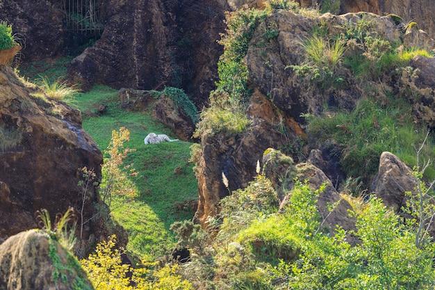 Park przyrody cabarceno hiszpania biały tygrys w parku przyrody cabarceno hiszpania