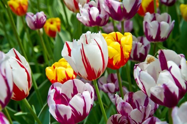 Park tulipanów