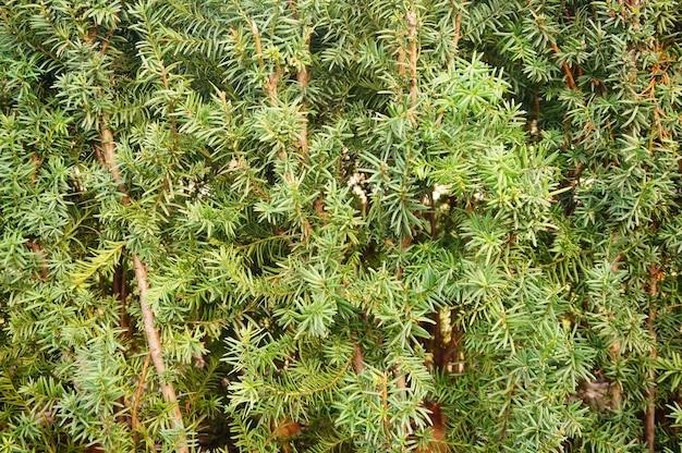 Park z piękną zieloną rośliną taxus baccata